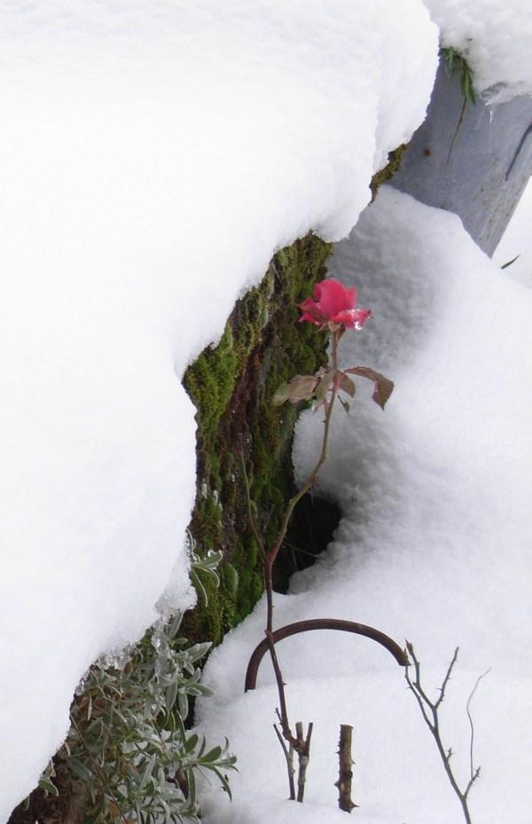 rose du nain dans la neige